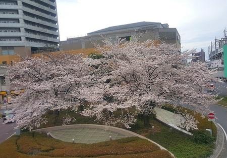 DEL_25_桜_20170406_170015 - コピー.jpg